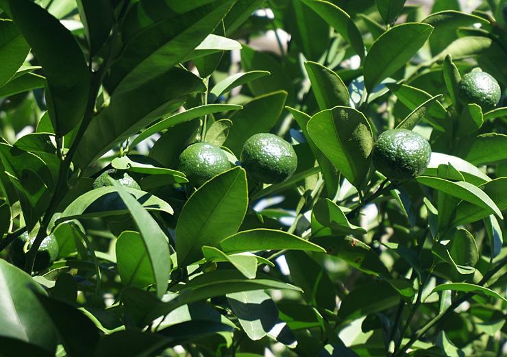 シークワーサーなんて凄い果樹なの!