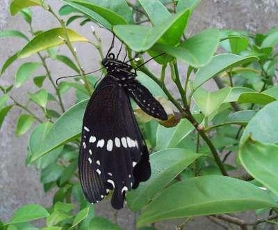 亜熱帯の蝶・シロオビアゲハ