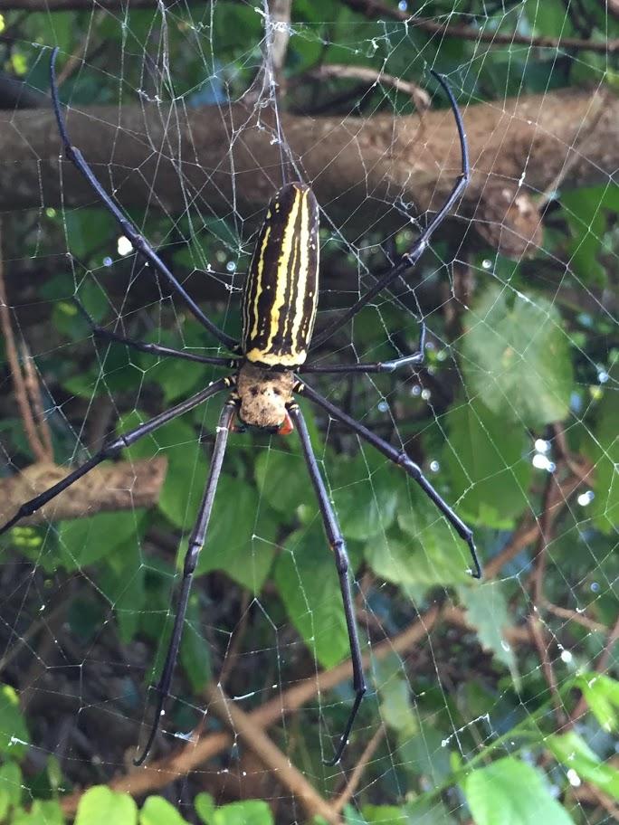 日本で最大級「大女郎蜘蛛」