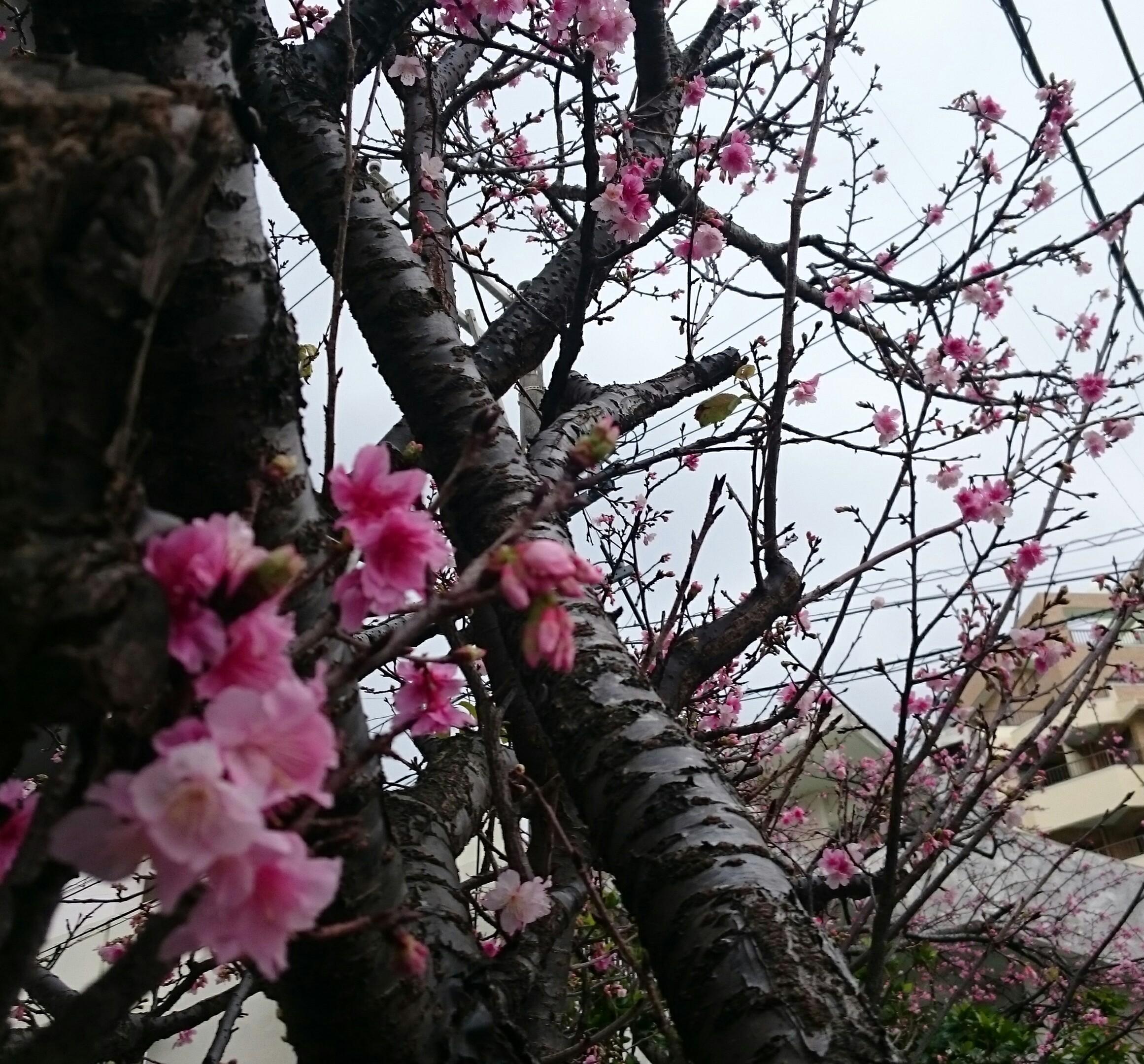 ヒカンザクラ 那覇 ランチ松花堂